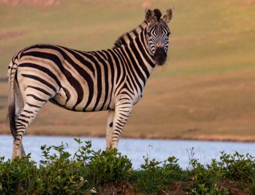 Você já viu uma zebra no hospital?